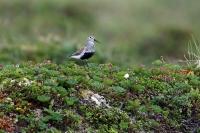 Calidris alpina; Dunlin; Kärrsnäppa