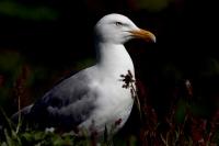 Larus argentatus; European herring gull; Gråtrut