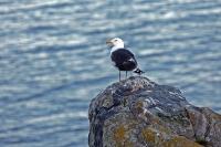 Larus marinus; Great black-backed gull; Havstrut