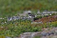 Charadrius hiaticula; [Common] ringed plover; Större strandpipare