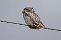 Surnia ulula; Northern hawk-owl; Hökuggla