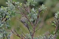 Phylloscopus trochilus; Willow warbler; Lövsångare