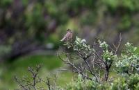 Turdus iliacus; Redwing; Rödvingetrast