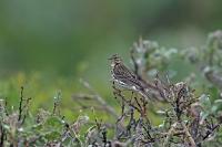 Anthus pratensis; Meadow pipit; Ängspiplärka