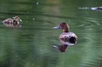 Aythya ferina; Common pochard; Brunand