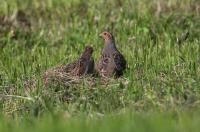 Perdix perdix; Grey partridge; Rapphöna