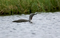 Gavia stellata; Red-throated loon; Smålom