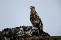 Haliaeetus albicilla; White-tailed eagle; Havsörn