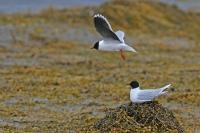 Hydrocoloeus minutus; Little gull; Dvärgmås