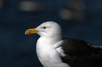 Larus marinus; Great black-backed gull; Havstrut