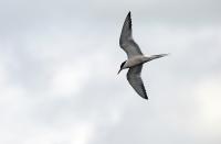 Sterna hirundo hirundo; Common tern; Fisktärna